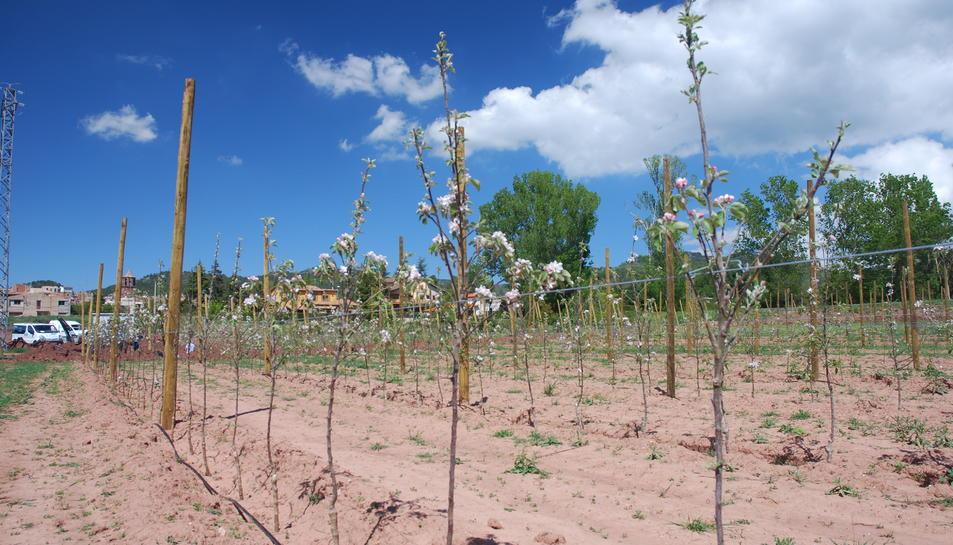 Èxit en el cultiu de la poma a Prades