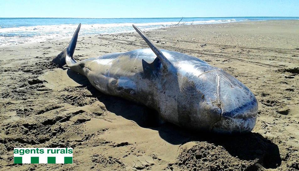 Apareix un altre exemplar de dofí cap d'olla gris en una platja de l'illa de Buda