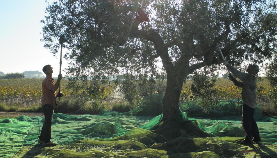 JARC-COAG denuncia importació d'oli d'oliva de Tunísia