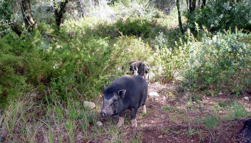 Els Agents Rurals capturen tres porcs vietnamites als afores de Falset