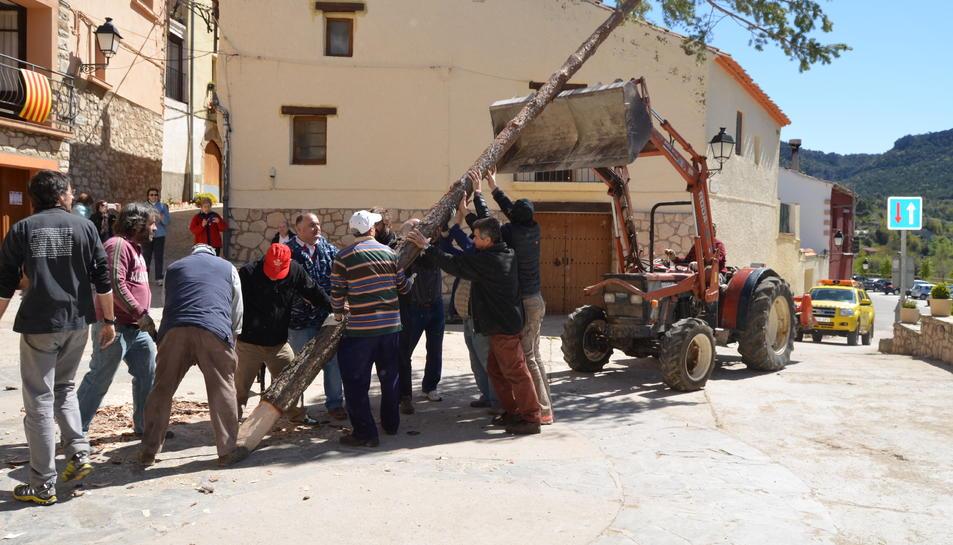 Tradicional plantada del pi del primer de maig a la Febró