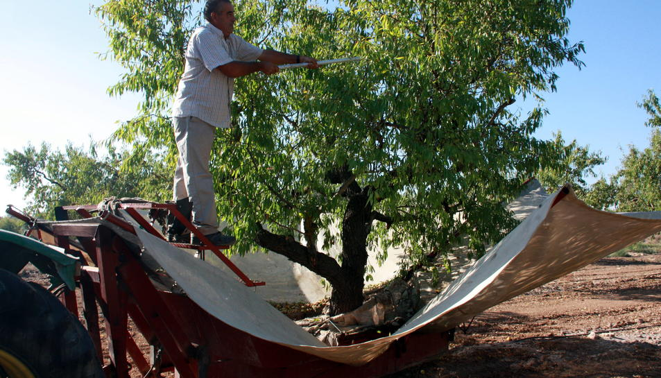 Les cooperatives de Tarragona preveuen un 40% més de producció d'ametlla que la campanya passada
