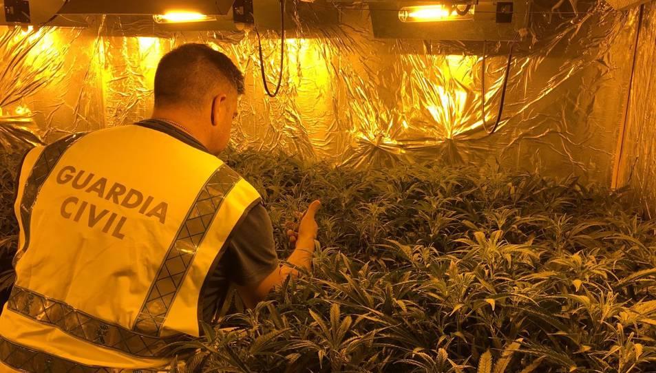Comissen 221 plantes de marihuana al desmantellar una plantació a Torredembarra