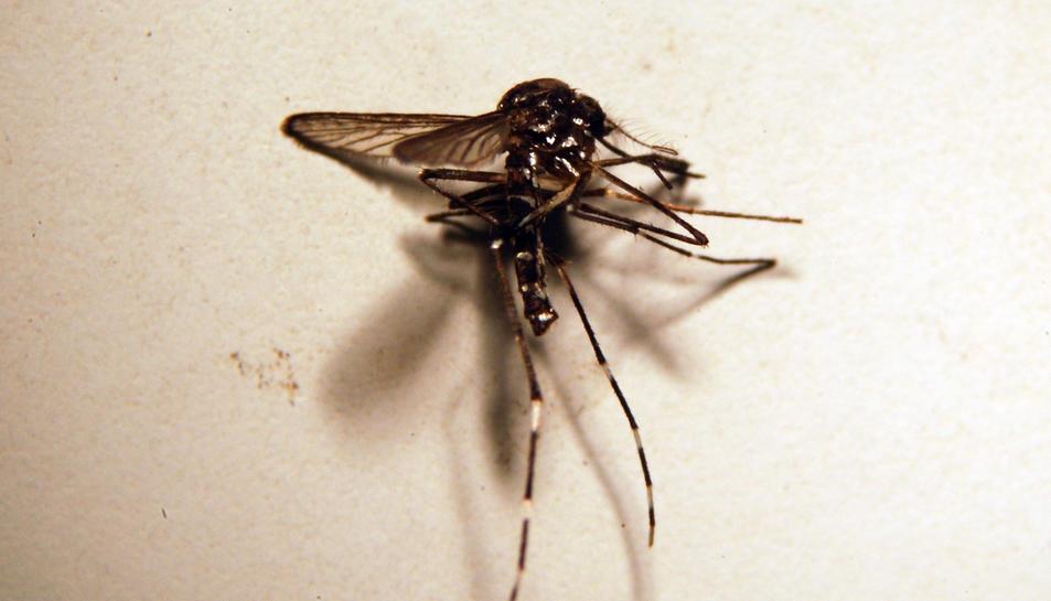 Com prevenir les picades del mosquit tigre