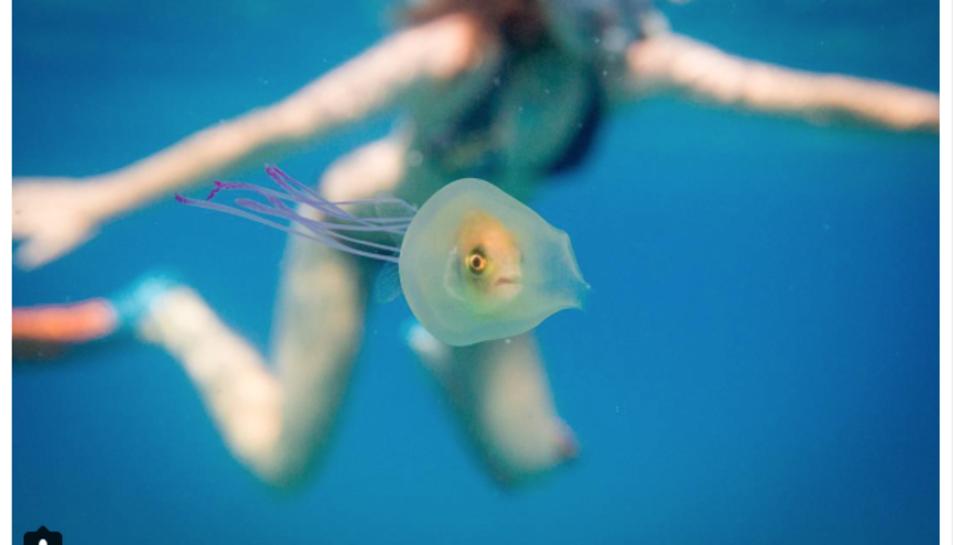 Un peix es queda atrapat dins d'una medusa
