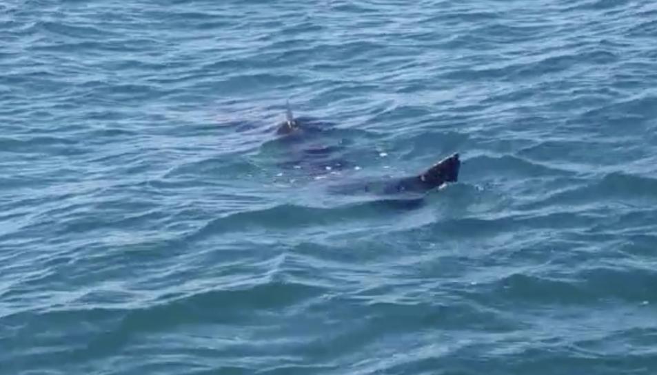 Imatge del tauró extreta del vídeo dels pescadors que el van albirar
