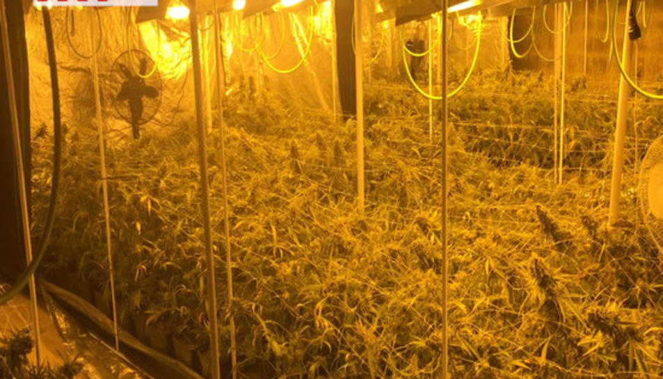 Plantació de mariguana desmantellada pels Mossos d'Esquadra al Montsià i al Baix Ebre.