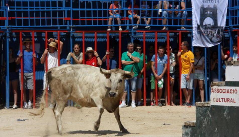 La primera vaca de l'acte taurí de Sant Jaume d'Enveja, al mig de la plaça.