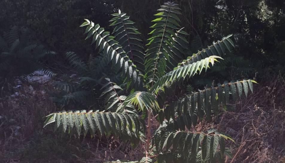 Destinen 2.000 euros a eliminar una planta invasora de la platja Llarga