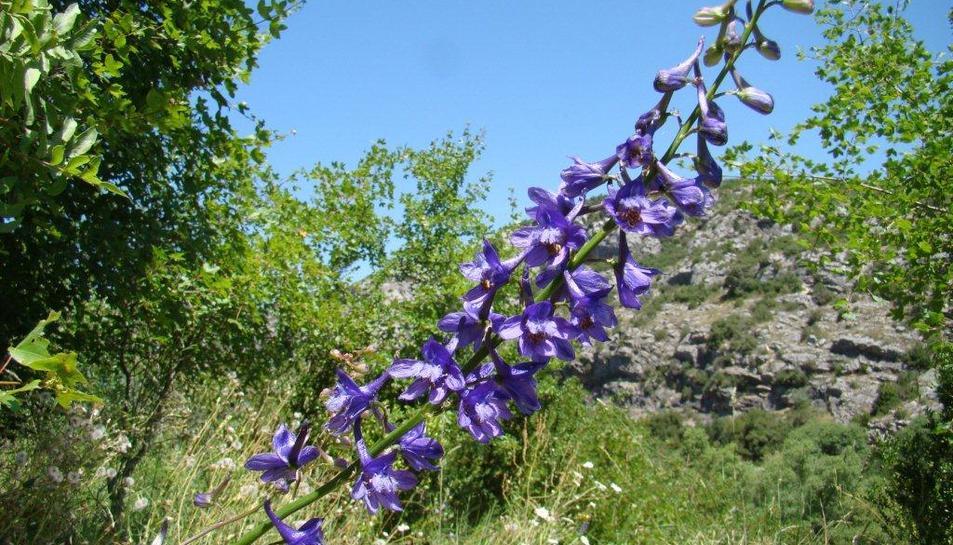 Es troba a Ulldemolins una planta endèmica de Catalunya en perill d'extinció