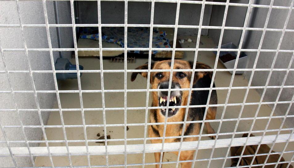 Si els gossos perillosos estan en un espai públic han d'anar lligats i dur posat el morrió.