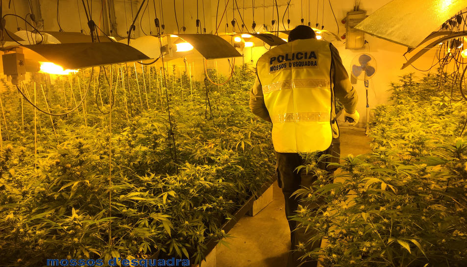Un agent durant l'entrada a una plantació 'indoor'.