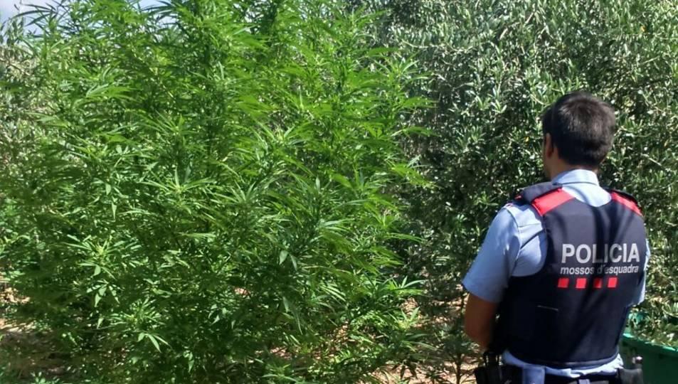 Localitzen una plantació de marihuana amagada entre oliveres a Vallmoll