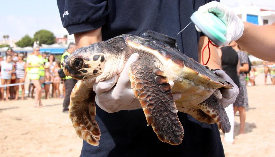 Primer pla d'una de les tortugues babaues que s'han alliberat a Tarragona, amb un emissor via satèl·lit i amb una tècnica llegint el xip identificador que porta instal·lat, el 31 d'agost del 2016