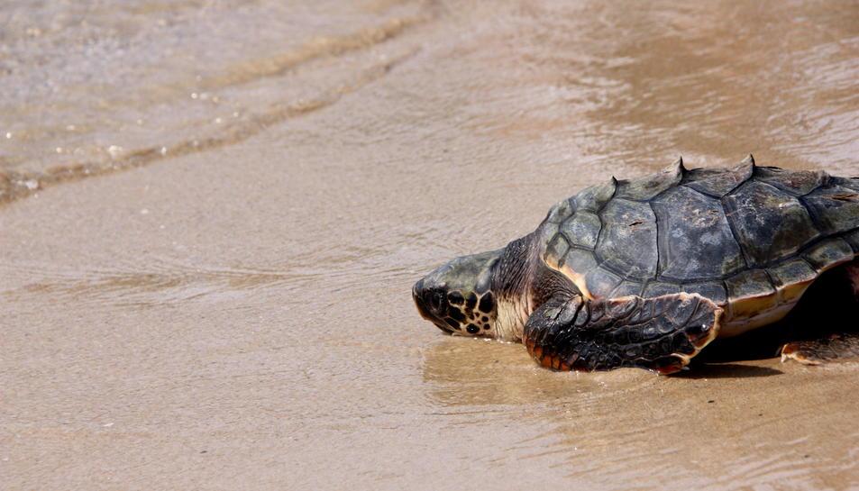 Primer pla d'una de les tortugues endinsant-se al mar, el 31 d'agost del 2016