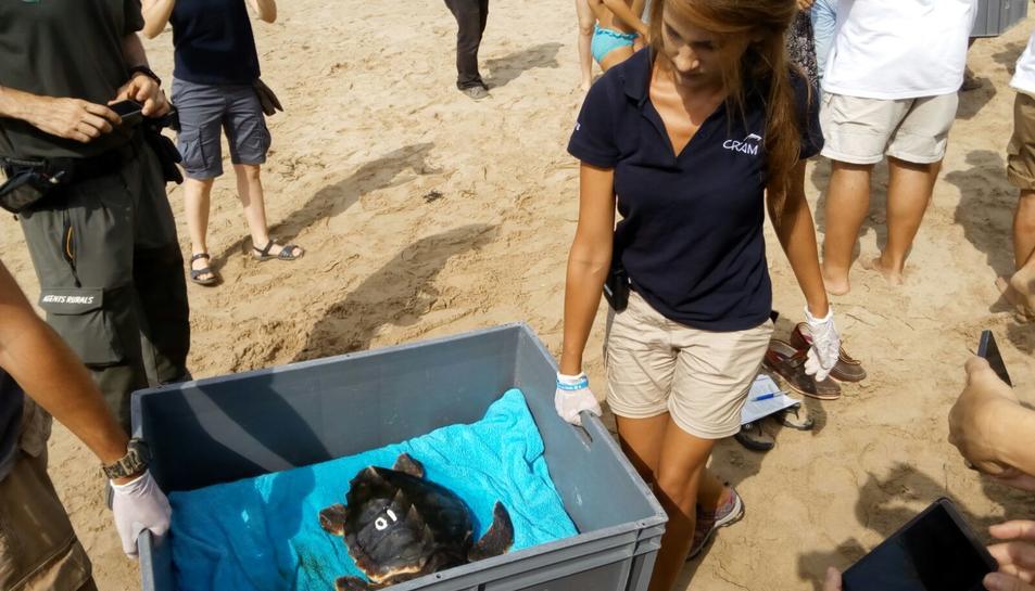 Moments previs a l'alliberament d'una de les tortugues.