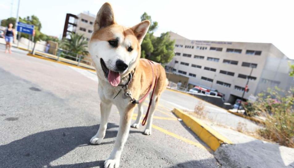 La gossa Maya s'està a les portes de l'hospital d'Elda des de diumenge.