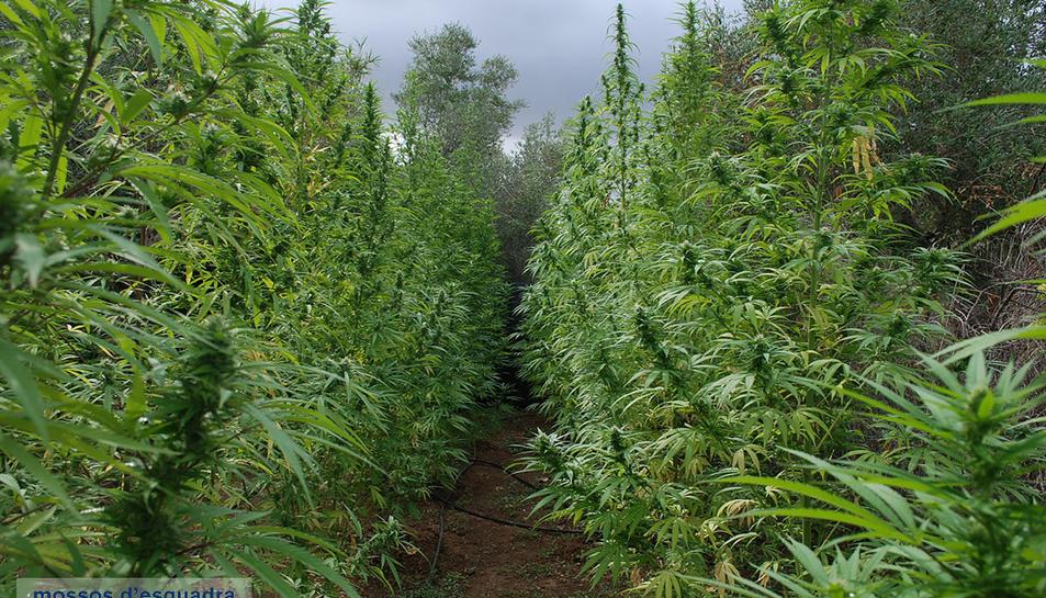 Intervinguts nou-cents quilos de marihuana en una finca