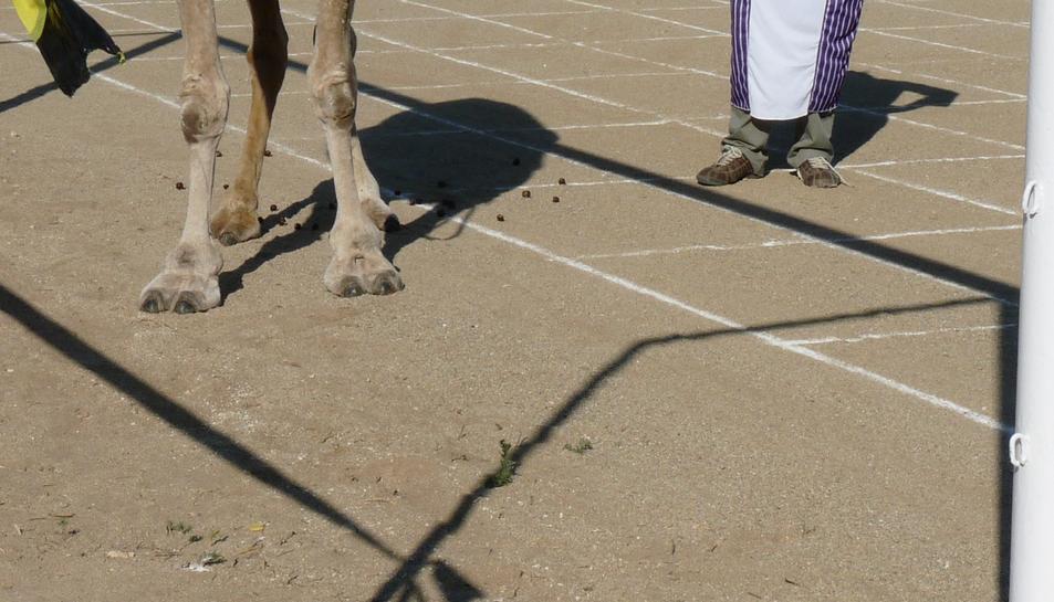 El camell finalment va fer la 'feina' deixant la seva cagarada sobre el camp.