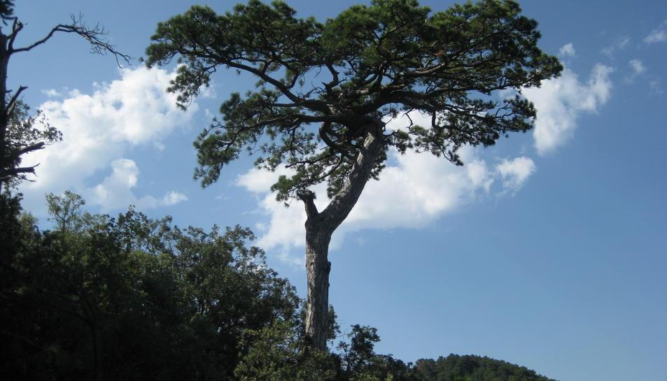 Un dels exemplars de pinassa de més de 300 anys.