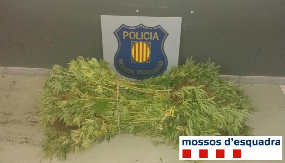 Imatge d'algunes de les plantes de marihuana requisades pels Mossos d'Esquadra.