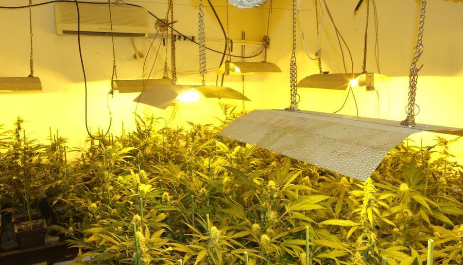 imatge de la plantació de Marihuana