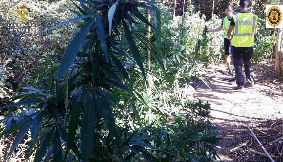 La plantació de marihuana que els agents van trobar a la finca de Montroig.