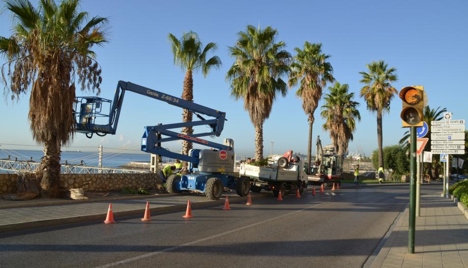 Reubiquen les palmeres afectades per la construcció de la passarel·la que connectarà la platja amb la ciutat