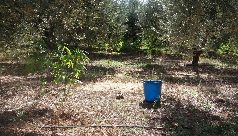La plantació de marihuana estava amagada entre un camp d'oliveres.