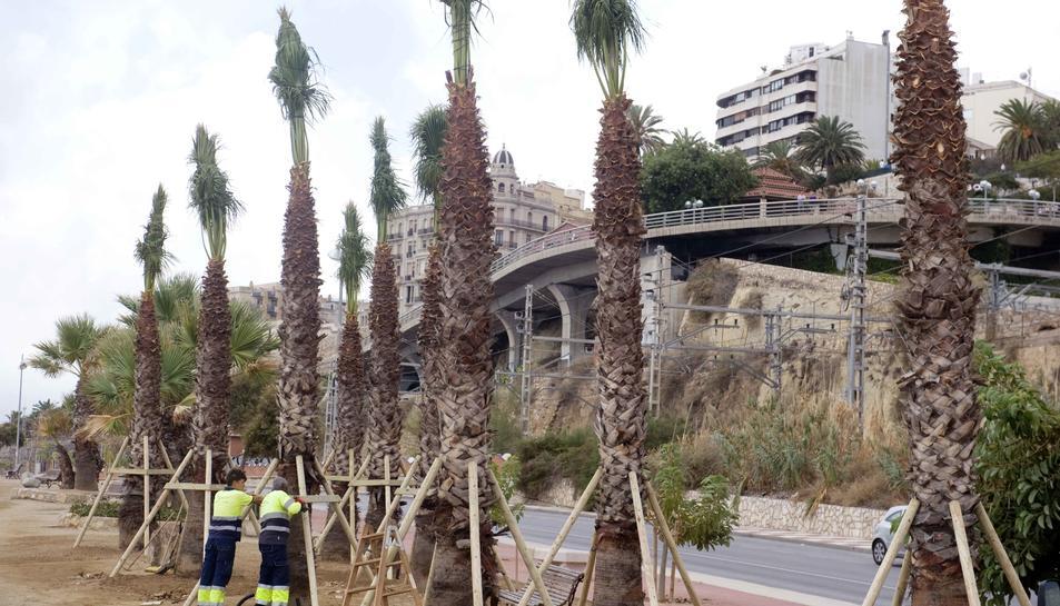 Imatge de les palmeres que han estat replantades.