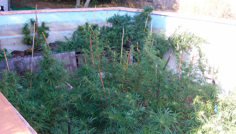Plantació de marihuana trobada a l'interior d'una piscina en desús d'una masia de Riudecanyes.