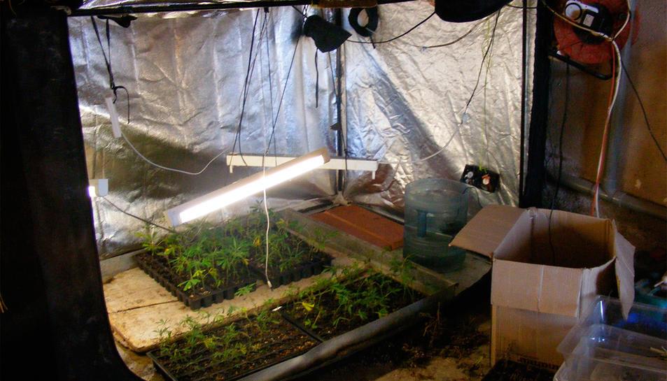 Plantació de marihuana d'interior a Riudecanyes.