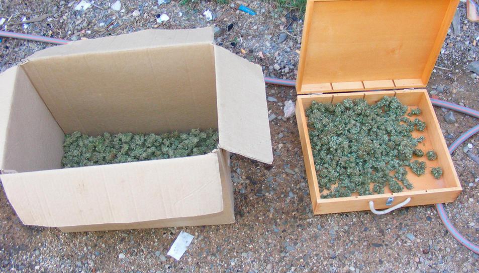 Esqueixos de marihuana trobats a la masia de Riudecanyes.