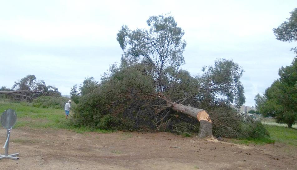 Imatge d'un delñs pins que ha estat talat aquest dijous.