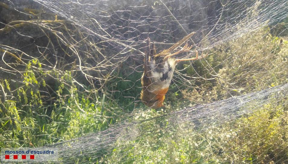 Els mossos van trobar dos pit-roigs, una espècie protegida, a la xarxa.