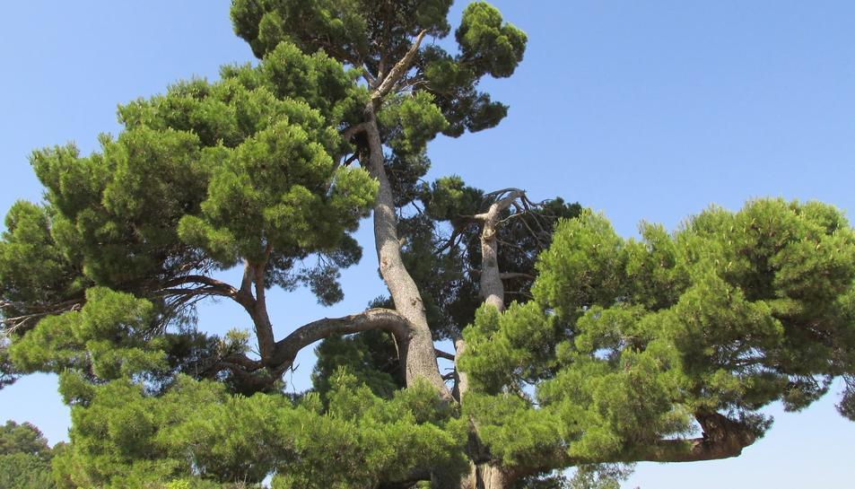 Pi del Xaconet de Barberà de la Conca, ara declarat arbre monumental.
