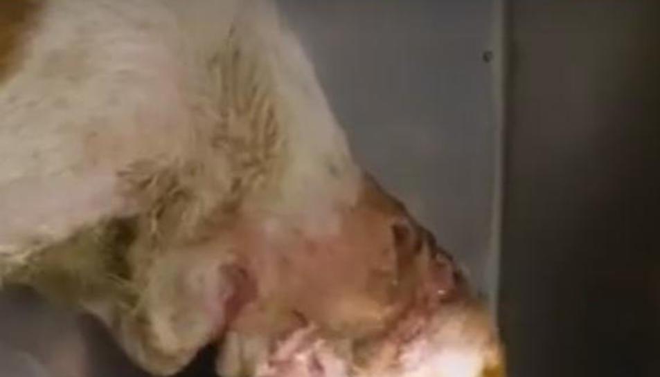 L'animal tenia diverses ferides al coll.