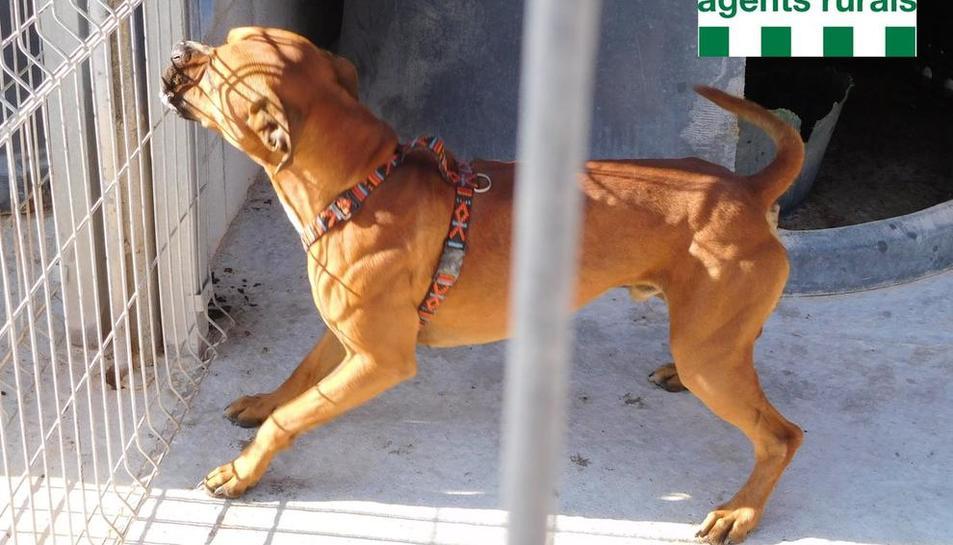 El gos, ja recuperat, va ser trobat el mes d'agost