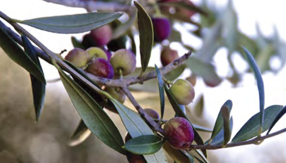 Les oliveres seran les protagonistes d'aquesta jornada tècnica agrícola.