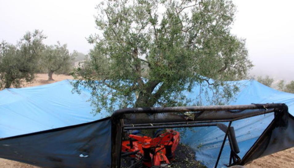 Imatge d'arxiu de la collita de l'oliva.