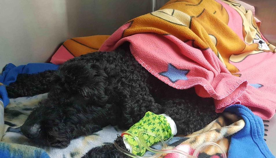 El Marley després de ser operat.
