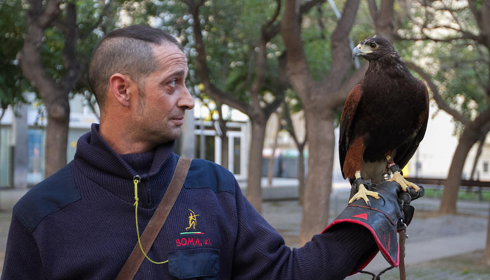 El falcó amb el falconer aquest dimarts a la plaça de la Llibertat.