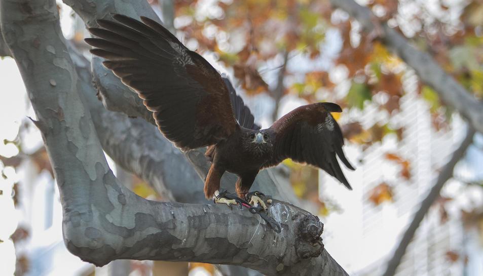 El falcó volant aquest dimarts a la plaça de la Llibertat.