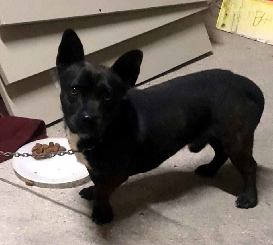 Imatge d'un gos negre recollit el mes de desembre a Montblanc, alimentat a la comissaria de la Policia Local, i que actualment està en acollida, amb una veïna de la localitat, en una imatge publicada el 26 de desembre del 2016