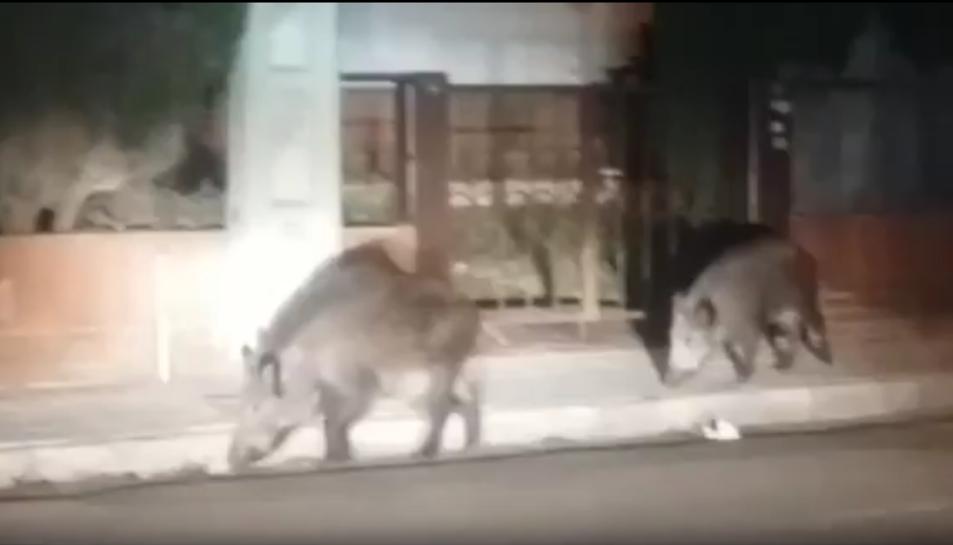 La parella de porcs senglars, mascle i famella, van creuar completament el barri Marítim del municipi.
