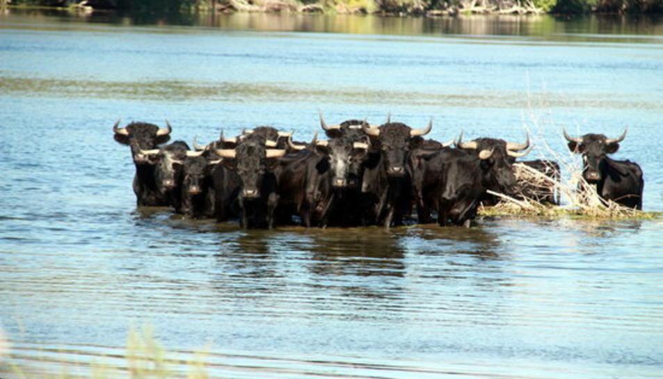 Manada de braus, de cara, al riu Ebre, a l'illa dels bous.