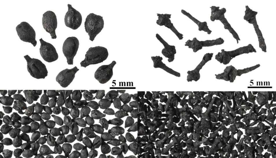Imatge de les llavors carbonitzades de raïm trobades a Mas d'en Gual.
