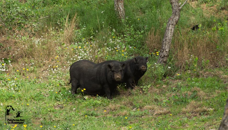 Imatge dels porcs vietnamites cistos al parc Sant Pere i Sant Pau.
