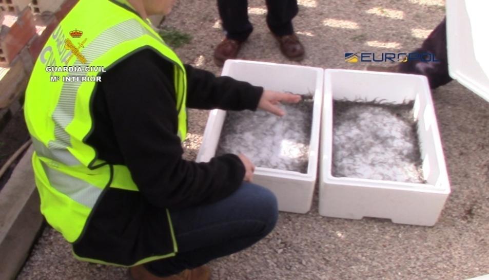 Es calcula en més de 7 tones la quantitat d'angules que podrien haver estat exportades il·legalment a Xina