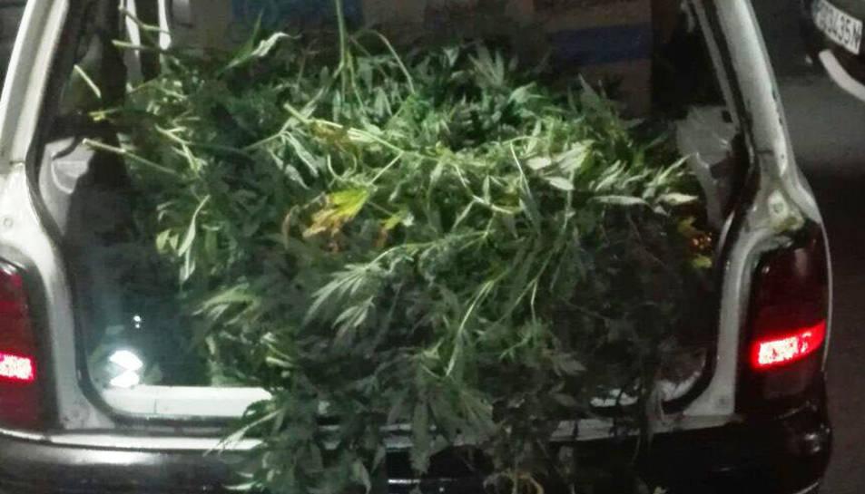 A l'interior del vehicle hi havia fins a 330 plantes de marihuana.